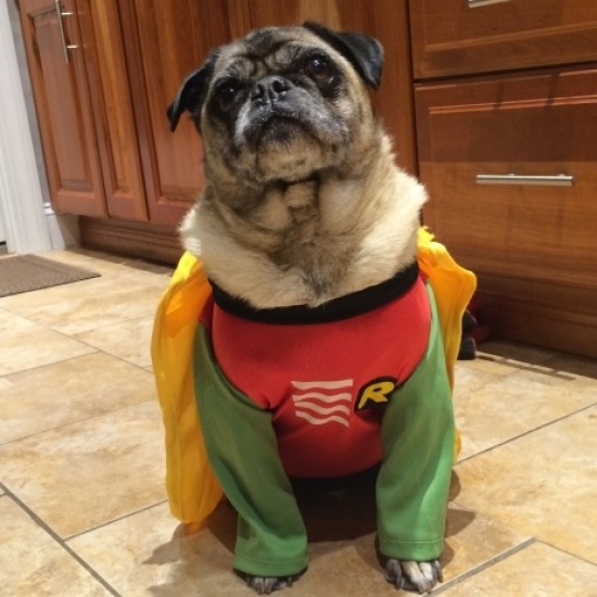 PUG RESCUE OF NEW ENGLAND's Photo