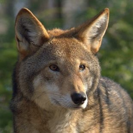 RED WOLF COALITION's Photo