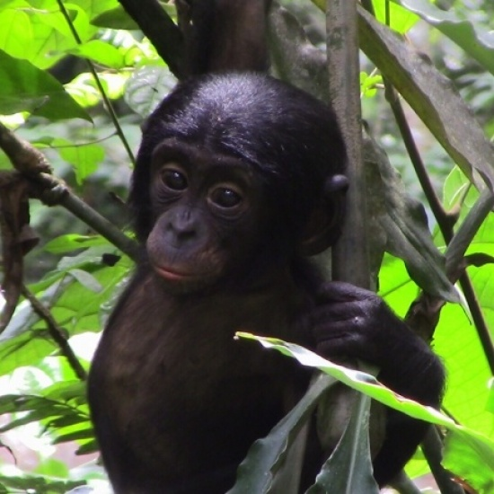 Bonobo Conservation Initiative's Photo