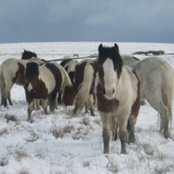 Castration fund for semi feral hill ponies