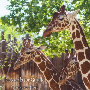 Postcards for Giraffe Conservation!