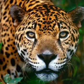 Ethnicity jaguars - Protecting the habitat of the Jaguar