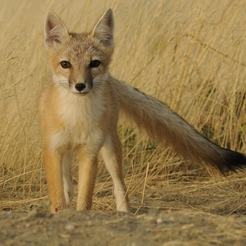 help save the swift foxes