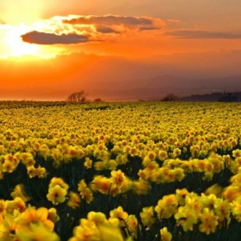 Daffodil Days at OMS Image