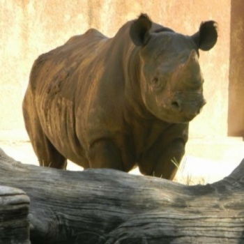 Support Endangered Black Rhino and Help Us Bring Phineus to Lansing!