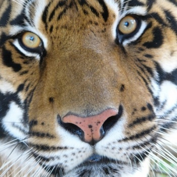 Help New Tigers get to Tiger Haven!