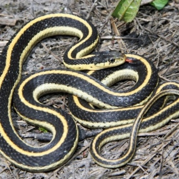 common garter snakes need our help