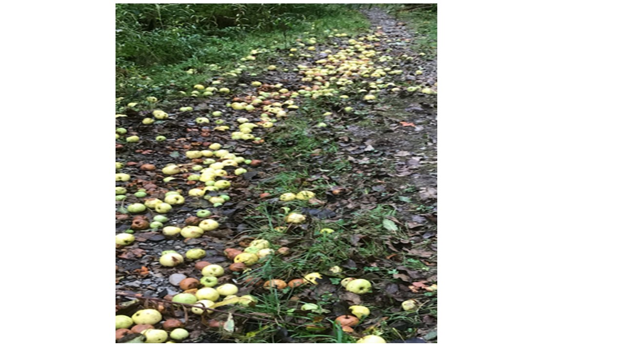 Apple droppings
