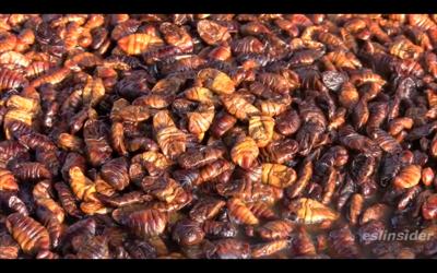 Korean Silkworms