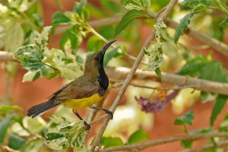 An Olive-backed sunbirdon Kanchanaburi