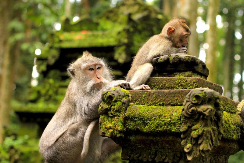 Monkey in Monkey Forest- Bali