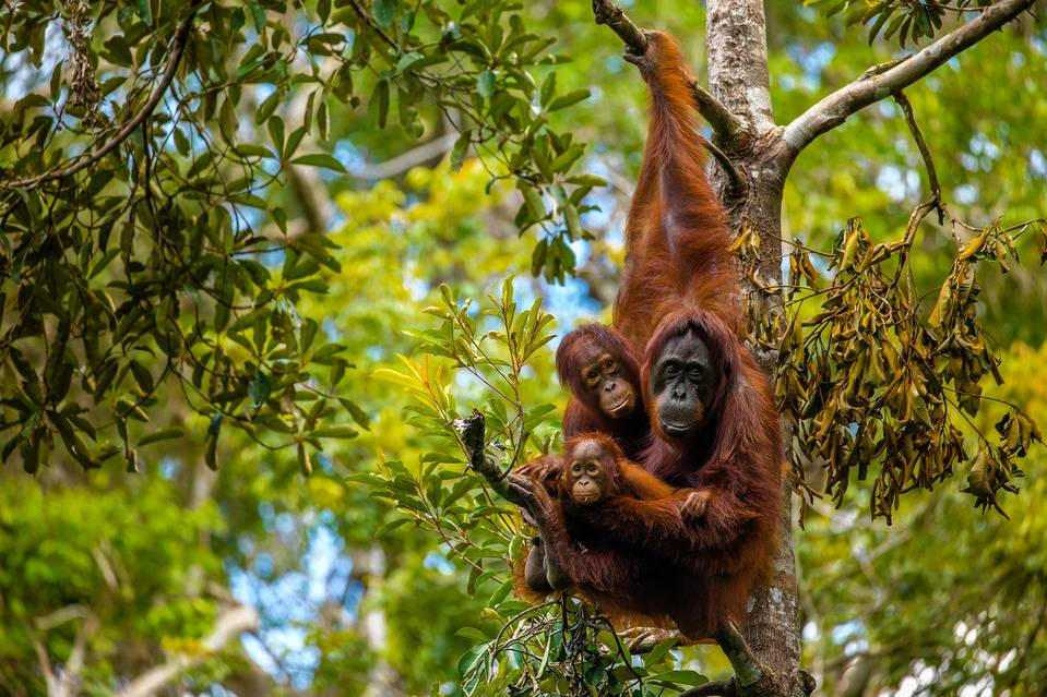 Borneo in summer is the best time to spot wild orangutans