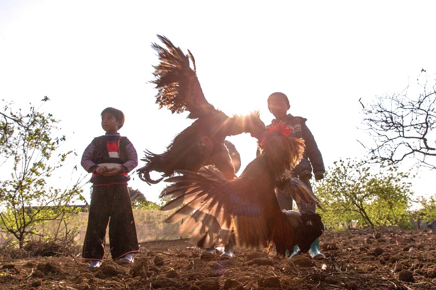Local kids were watching a cockfighting