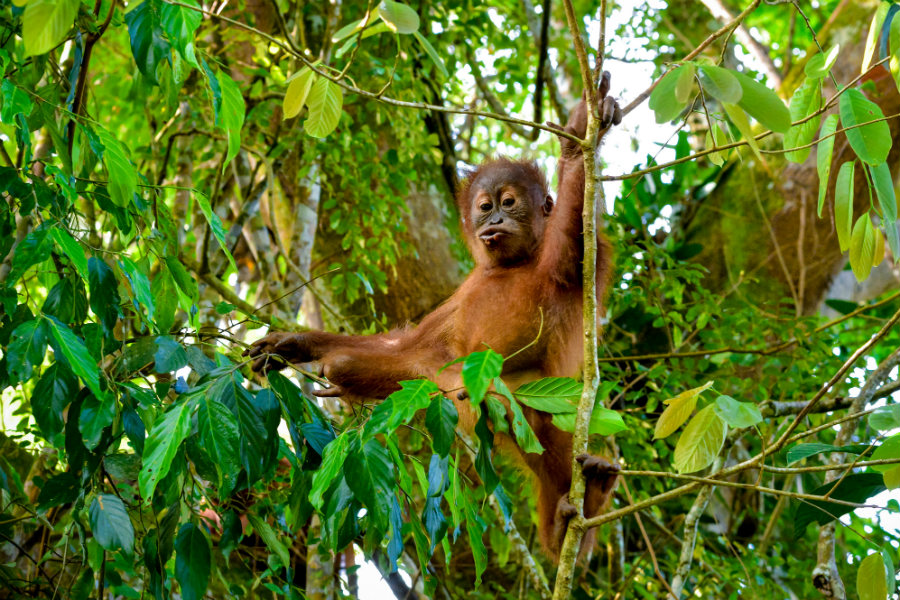 Baby-orangutan-speaks-to-a-cameraman-Sumatra-Indonesia