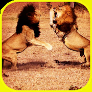 Pk African Lions Fight