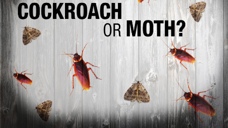 Cockroach or Moth?