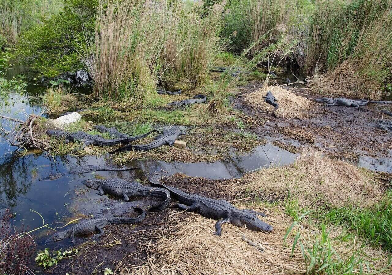 alligators-2291480_1920-3