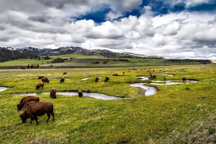 buffalo_yellowstone