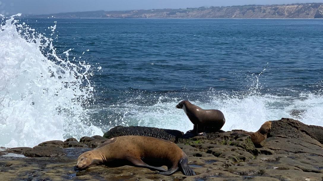 Gay Sea Lion
