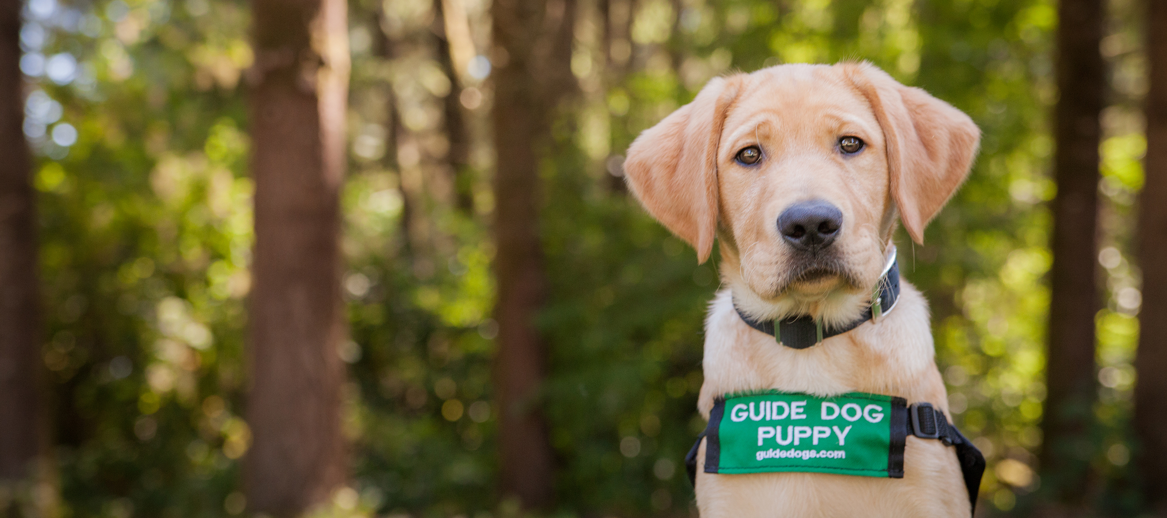 A yellow Lab guide dog puppy against a wooded background.