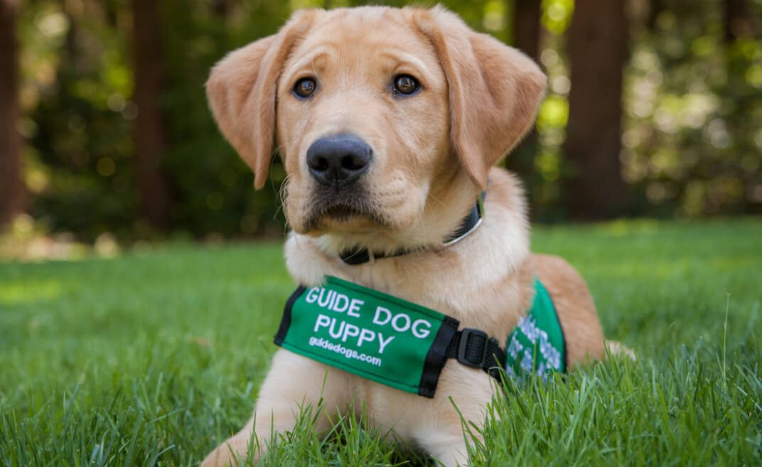 Guide Dog puppy Dijon