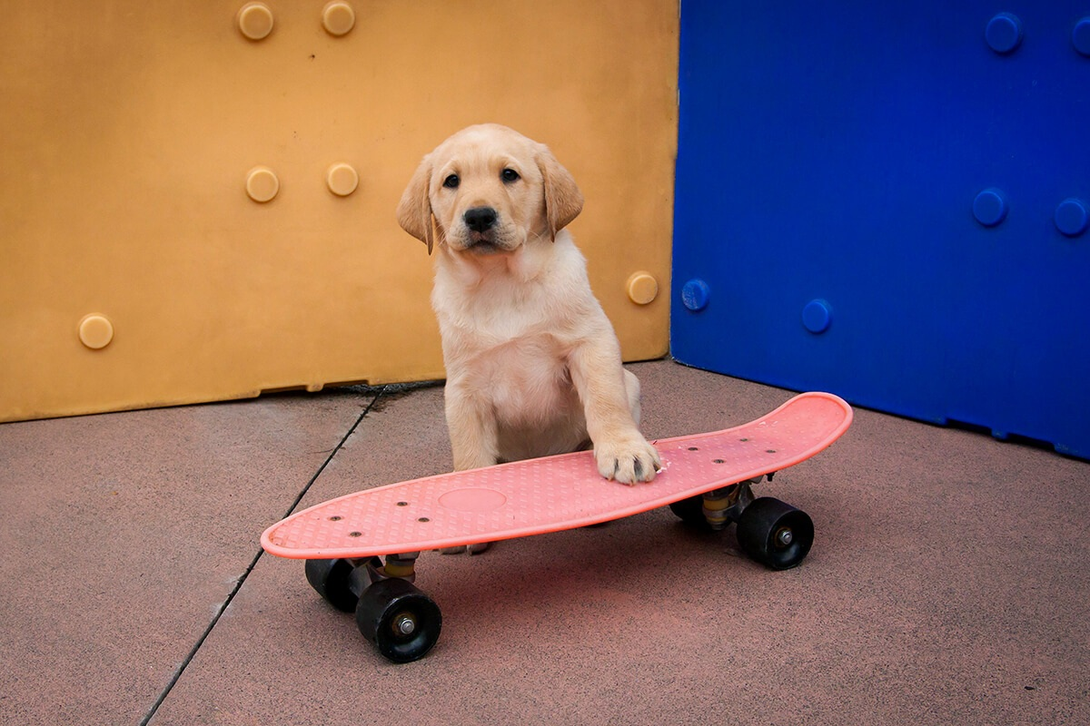 A very young yellow Lab puppy with a paw on a skateboard.