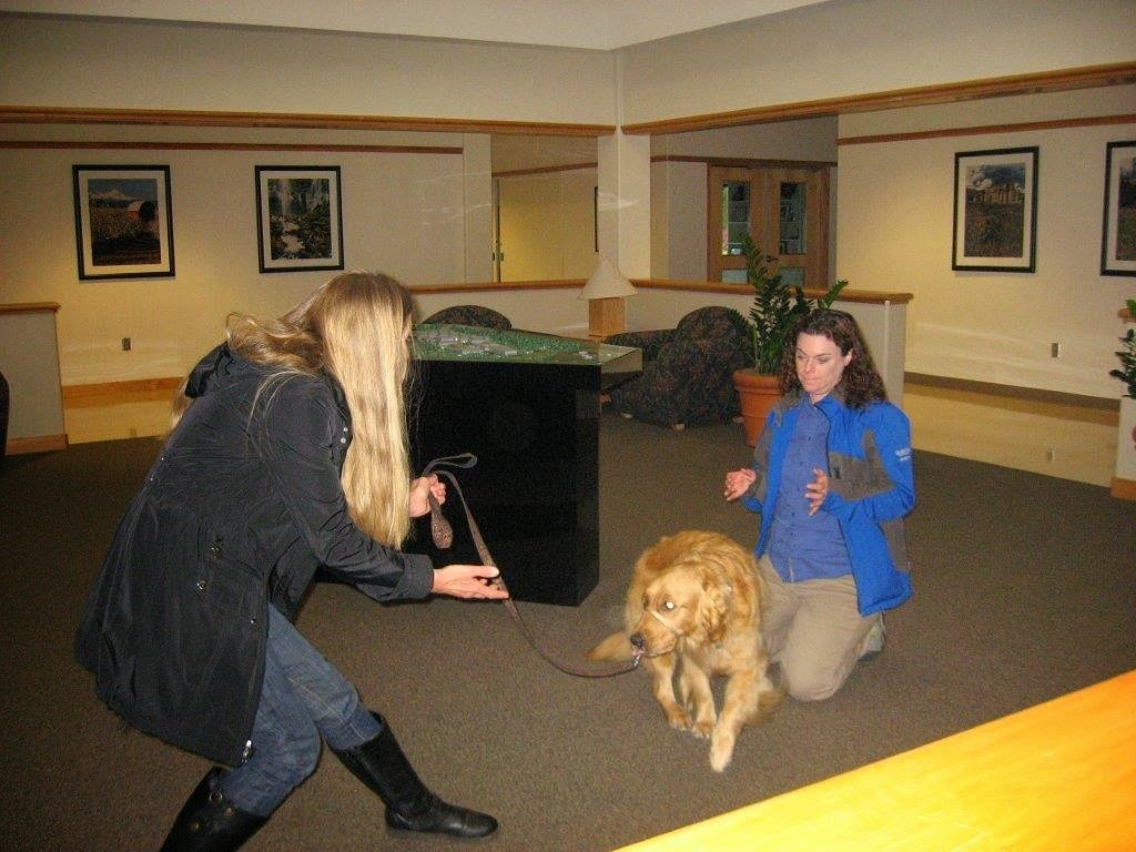 """Karyn and Ceili (Golden Retriever) practice the command """"come"""""""