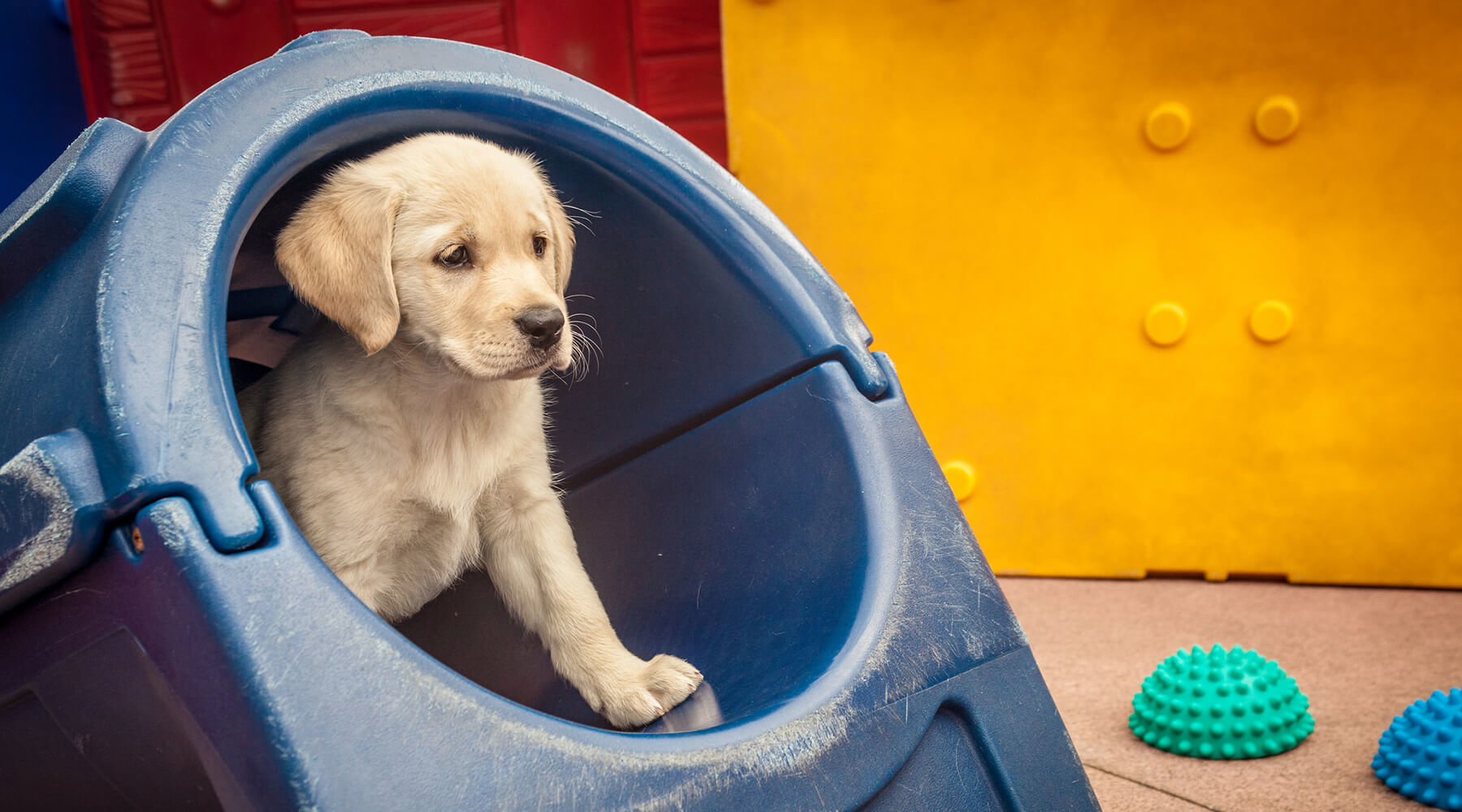 A young yellow Lab puppy peeks out from a plastic blue tunnel play structure in the puppy socialization yard on the San Rafael, CA campus