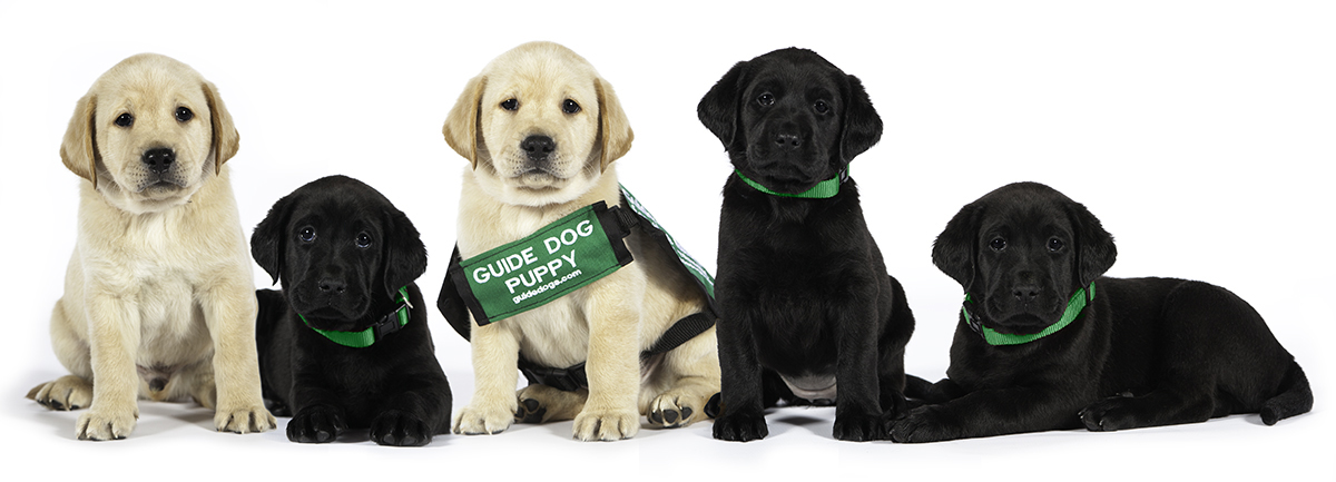 Five GDB puppies in a row - two yellow Labs and three black Labs. One of the yellow Labs is wearing a GDB puppy coat.