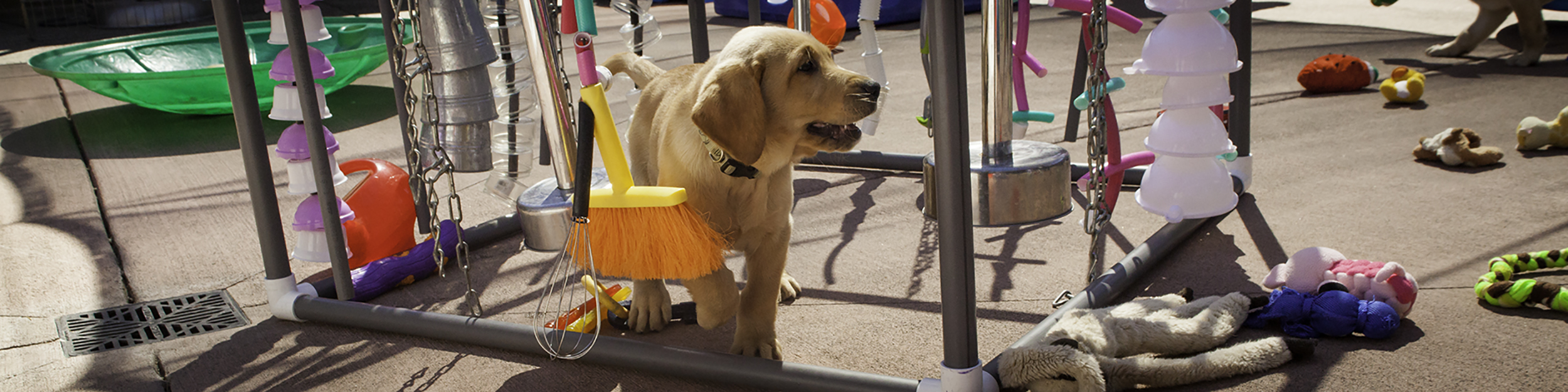 A young yellow Lab puppy smiles while playing with one of the structures with dangling objects in the puppy socialization yard on the San Rafael, CA campus