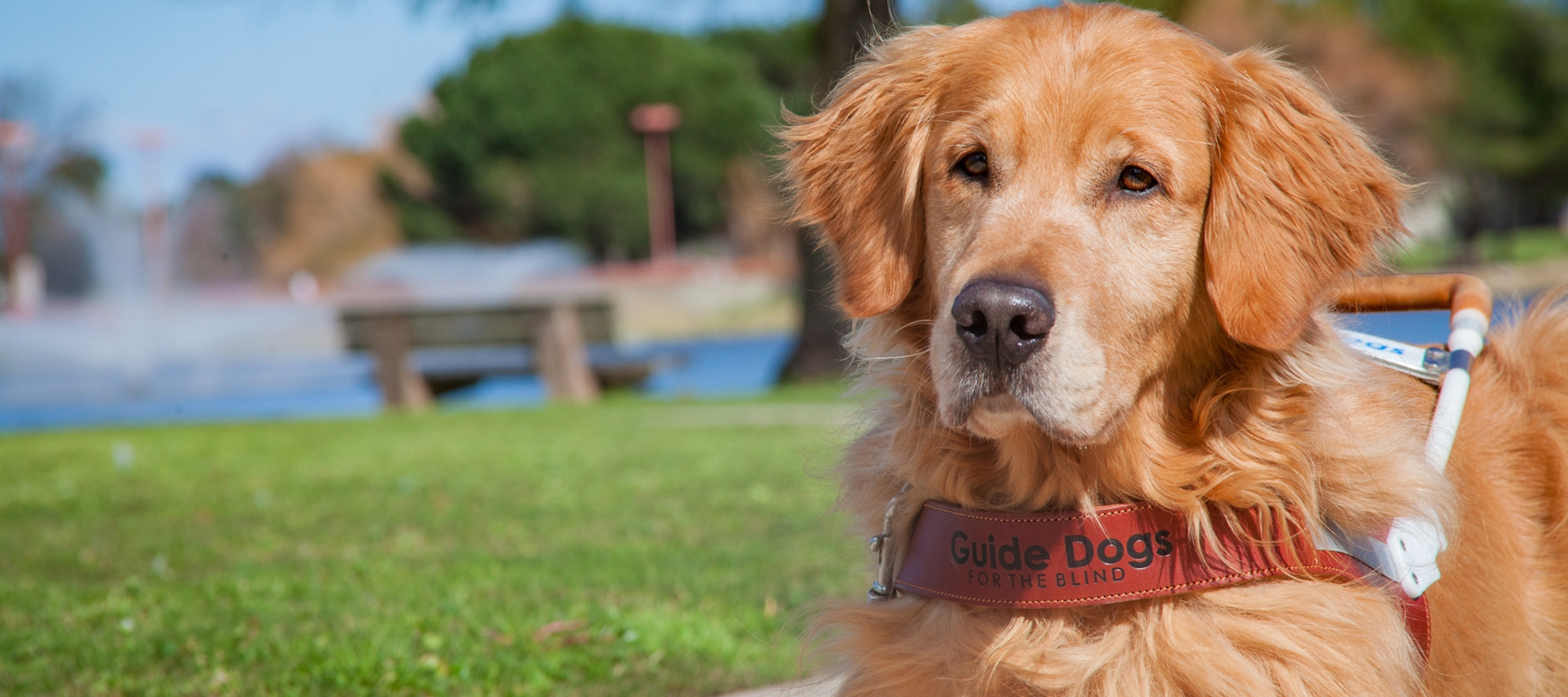A Golden Retriever guide dog gazes past the camera and lays on green grass while wearing a GDB guide dog harness. A pond of water and a wooden bench is pictured in the background.