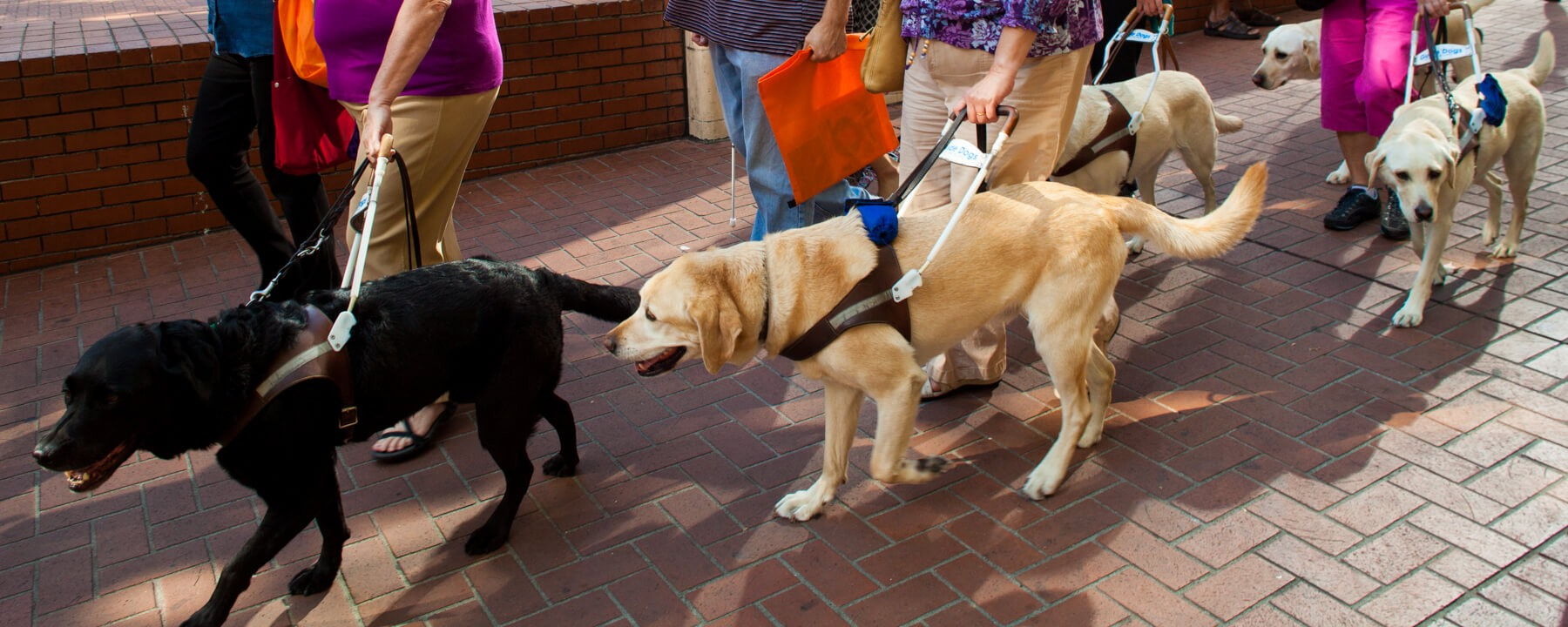 A sidewalk full of working guide dogs and their handlers.
