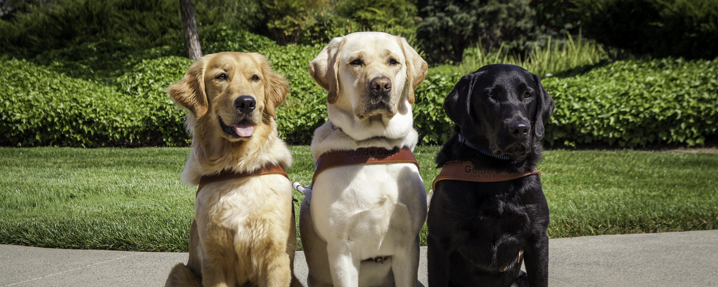 Three guide dogs (a Golden Retriever, Yellow Lab, and Black Lab) sit looking at the camera
