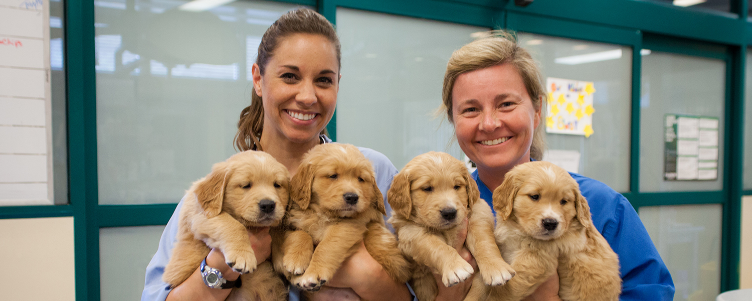 Two GDB female staff veterinarians smile while each holding two fluffy Golden Retriever pups