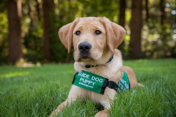 Guide Dog puppy Dijon, wearing his green puppy coat, sitting on green grass.