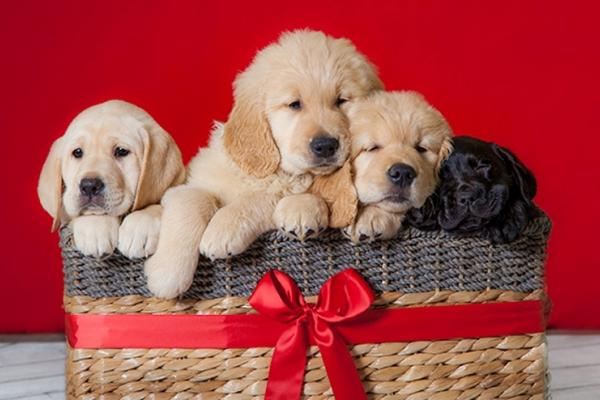 A basket with a big red bow in front of a red background, full of four baby puppies: a yellow Lab, two Golden Retrievers, and a black Lab.