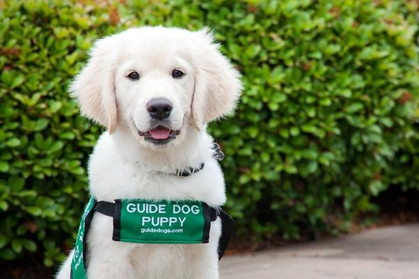 A Lab/golden cross guide dog puppy in sits on the ground in its green GDB puppy vest.