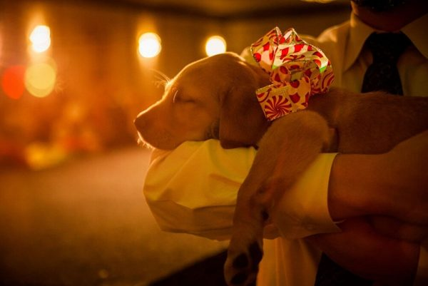 A sleeping yellow Lab puppy wearing a big red holiday bow in the glow of twinkling holiday lights.