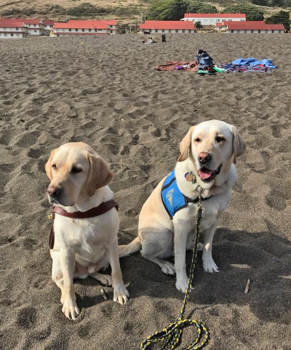 Mambo (yellow Lab) wears his guide dog harness while sitting in the sand next to his brother Milton (yellow Lab) who is wearing his Dogs 4 Diabetics service dog vest. Both brothers gaze to the left of the camera. White buildings are pictured in the background.