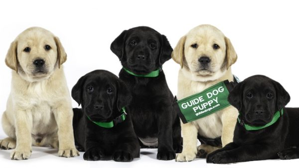 Five adorable Labrador retriever puppies looking at the camera. One of the pups is wearing a slightly too-big GDB puppy coat for him to grow into.