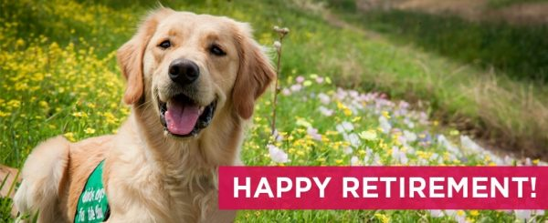 """A Golden Retriever guide dog puppy in training smiles at the camera while laying in a field of wildflowers. A pink box in pictured in the lower right-hand corner and reads """"HAPPY RETIREMENT"""" in white text."""
