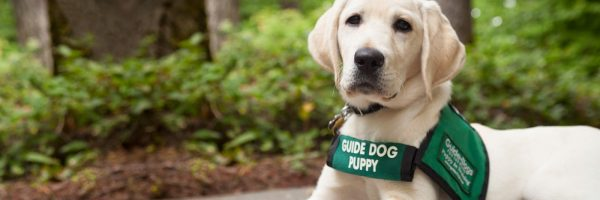 A yellow Lab guide dog puppy.