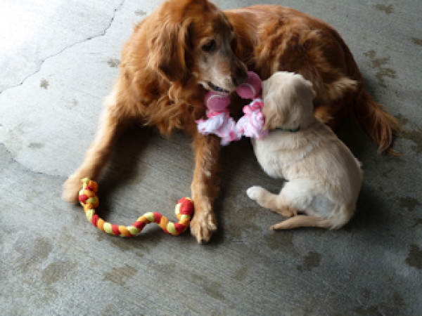 Golden Retriever Gaya playing with a young yellow Lab puppy.