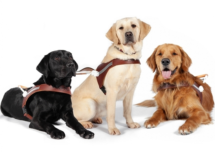 A portrait of three guide dogs wearing harnesses against a white background.