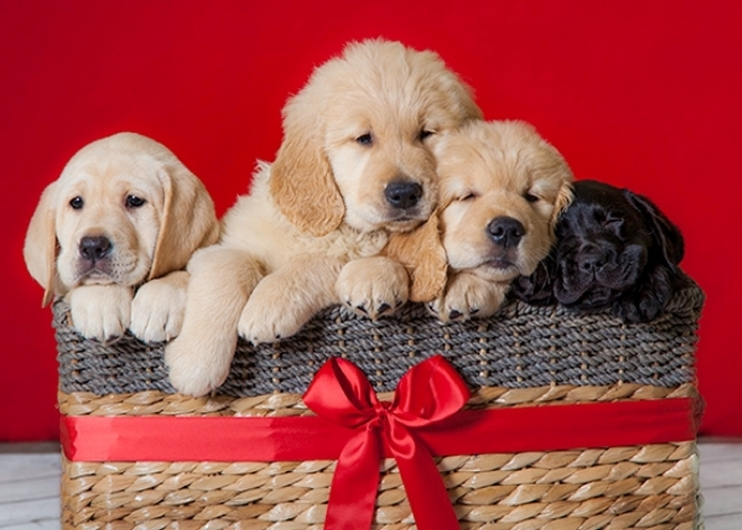 A basket full of puppies! Four pups snuggled together against a red background. The basket has a big red bow on the front.
