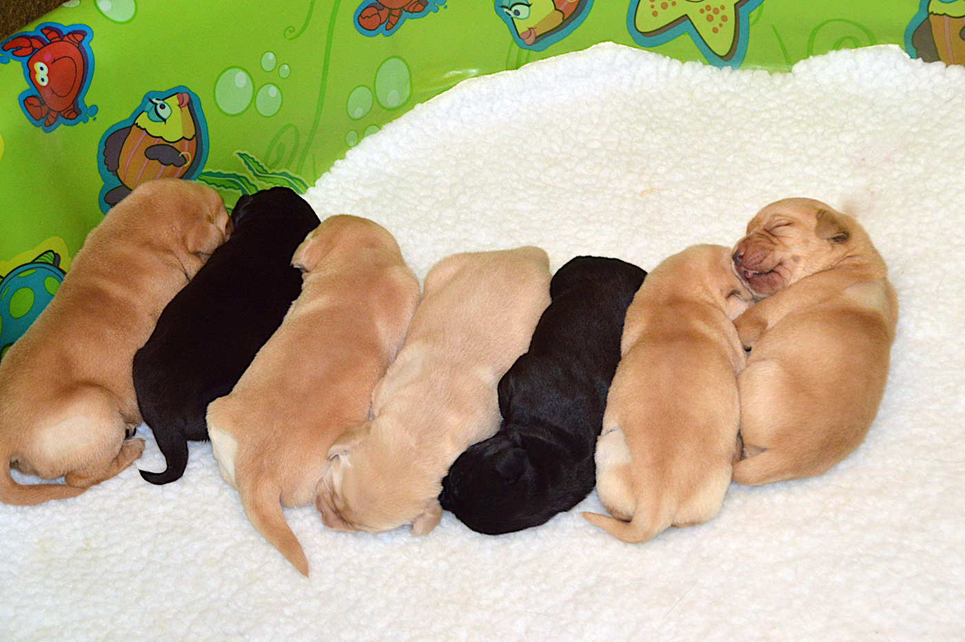 A litter of seven sleeping Labrador puppies -  two black Labs, five yellow Labs.
