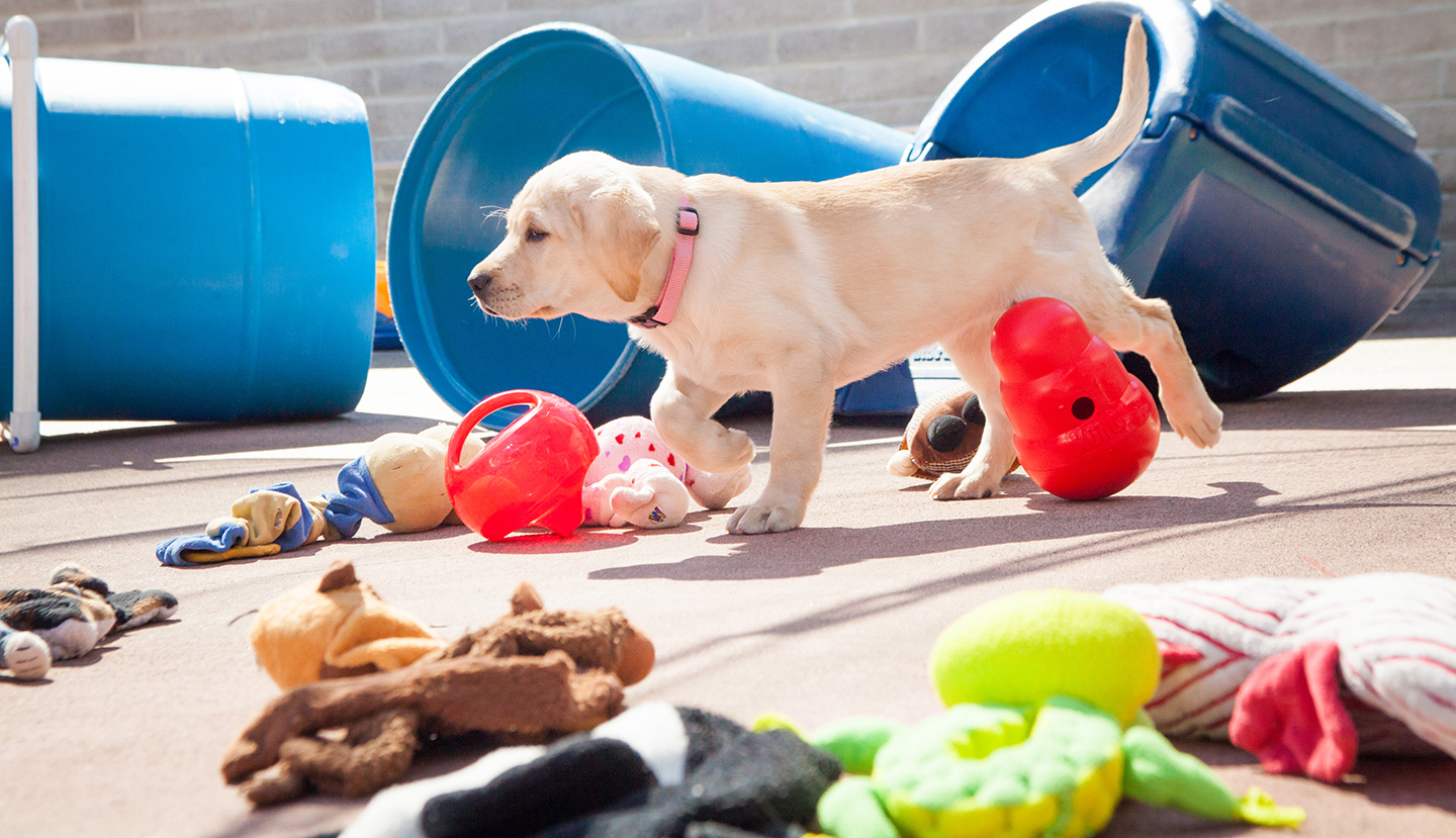 A young yellow Lab guide dog puppy scampers across the puppy socialization yard near blue plastic tunnels  on the San Rafael, CA campus