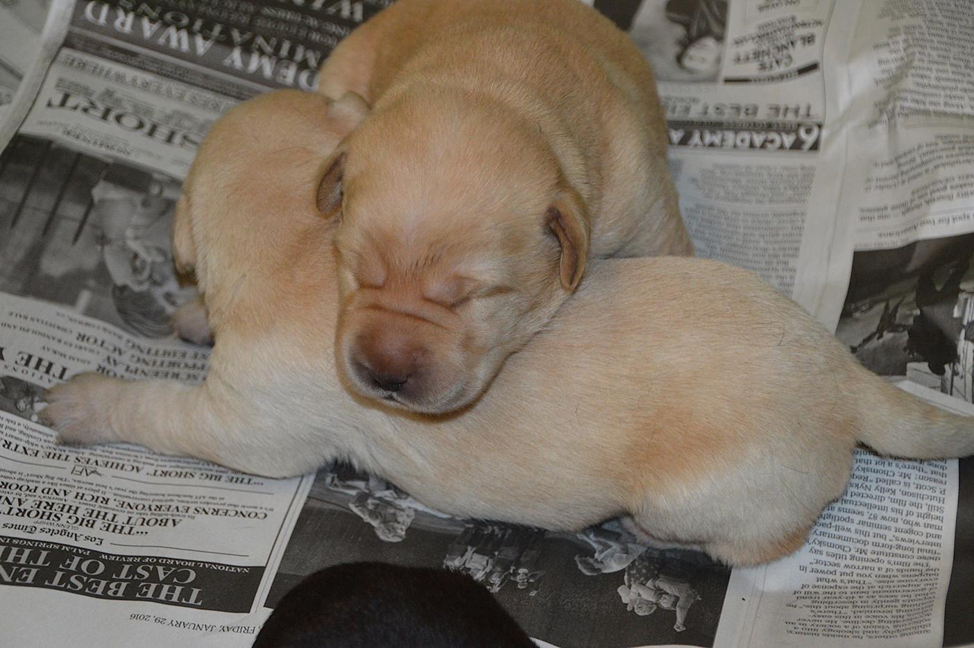 Two sleeping newborn yellow Lab puppies.