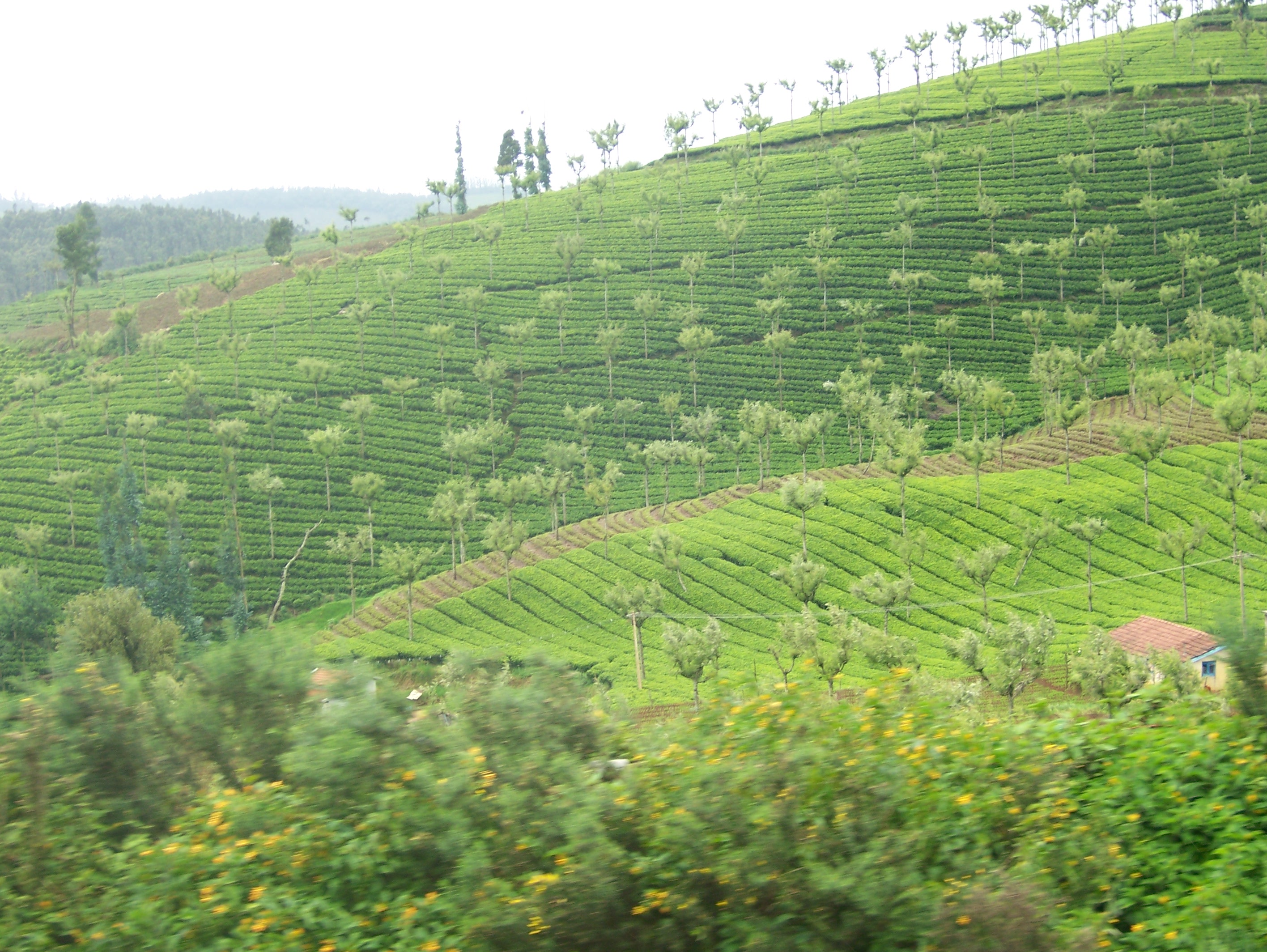 View of the tea estates during a ride on the Nilgiri Mountain Express