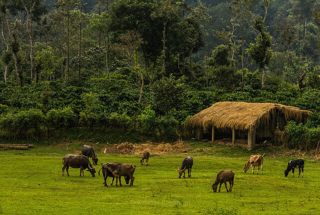 Greener Pastures: A cow shelter in Coorg Source: Flickr